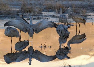 A flock of sandhill cranes at low light bird,birds,crane,cranes,wetland,wader,waders,wading bird,water,lake,pond,reflection,low light,soft light,sunset,sun down,dusk,Sandhill crane,Grus canadensis,Chordates,Chordata,Gruiformes,Rails and Cra