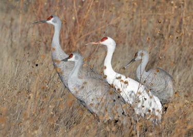 Flock of sandhill cranes bird,birds,crane,cranes,wetland,Sandhill crane,Grus canadensis,Chordates,Chordata,Gruiformes,Rails and Cranes,Aves,Birds,Gruidae,Grassland,Terrestrial,Least Concern,Wetlands,Flying,canadensis,Animalia