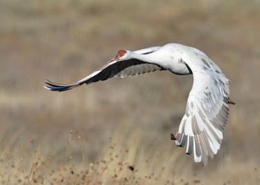 Sandhill crane flying over a field bird,birds,crane,cranes,wetland,wader,waders,wading bird,flying,flight,in-flight,action,motion,Sandhill crane,Grus canadensis,Chordates,Chordata,Gruiformes,Rails and Cranes,Aves,Birds,Gruidae,Grasslan