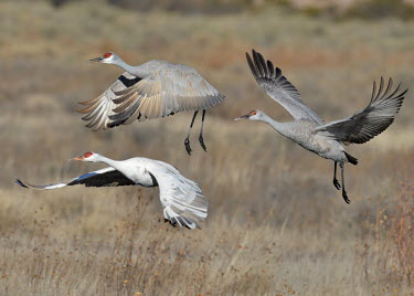Sandhill cranes flying over a field bird,birds,crane,cranes,wetland,wader,waders,wading bird,flying,flight,in-flight,action,motion,Sandhill crane,Grus canadensis,Chordates,Chordata,Gruiformes,Rails and Cranes,Aves,Birds,Gruidae,Grasslan
