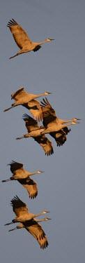 A flock of sandhill cranes in flight bird,birds,crane,cranes,wetland,wader,waders,wading bird,flying,flight,in-flight,action,motion,Sandhill crane,Grus canadensis,Chordates,Chordata,Gruiformes,Rails and Cranes,Aves,Birds,Gruidae,Grasslan