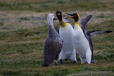 Two king penguins angry at upland goose getting too close King penguin,penguins,penguin,upland goose,Chloephaga picta,geese,goose,fight,fighting,aggressive,aggression,angry,cross,anger,territory,territorial,bird,birds,Aptenodytes patagonicus,Sphenisciformes,