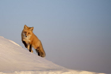 A red fox walks over a snow covered sand dune as the late evening sun shines on it cold,fox,fur,orange,red fox,snow,walking,white,winter,foxes,snowy,ice,negative space,mammal,vertebrate,vertebrates,terrestrial,furry,canidae,predator,scavenger,hunter,Red fox,Vulpes vulpes,Chordates,C
