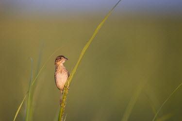 A seaside sparrow perches on some tall marsh grass Seaside sparrow,sparrow,bird,birds,Animalia,Chordata,Aves,Passeriformes,Passerellidae,Ammospiza maritima,alert,grass,green background,looking,marsh grass,perched,perch,perching,shallow focus,Ammodramu