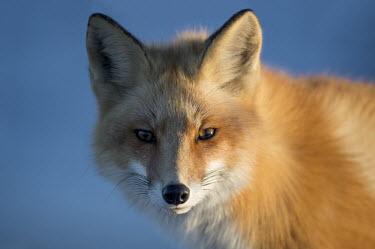 The late evening sun lights up one side of a red fox blue,fox,fur,orange,red fox,foxes,mammal,mammals,vertebrate,vertebrates,terrestrial,furry,canidae,predator,scavenger,hunter,face,looking at camera,shallow focus,ears,Red fox,Vulpes vulpes,Chordates,Ch