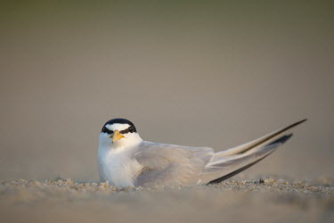 An adult least tern sits on a nest on a sandy beach in the early morning sunlight least tern,tern,terns,adult,beach,grey,nest,nesting,resting,sand,shallow focus,negative space,bird,birds,coastal,looking at camera,Animalia,Chordata,Aves,Charadriiformes,Laridae,Sternula antillarum,sh