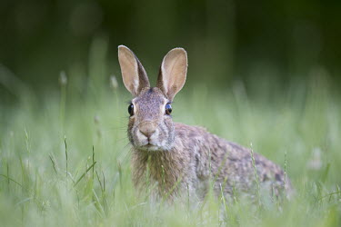 An Eastern cottontail Rabbit has its head held up searching its surroundings Eastern cottontail rabbit,cottontail rabbit,rabbit,rabbits,cottontail,alert,brown,fur,grass,green,eyes,panicked,surprise,ears,shallow focus,green background,bunny,field,Eastern cottontail,Sylvilagus f