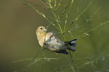 An American goldfinch feeding on wild rice as the soft sunlight shines on in front of a smooth green and brown background American goldfinch,goldfinch,finch,finches,bird,birds,feeding,green,hanging,perched,perch,perching,sunny,white,wild rice,Carduelis tristis,Chordates,Chordata,Aves,Birds,Perching Birds,Passeriformes,Gr
