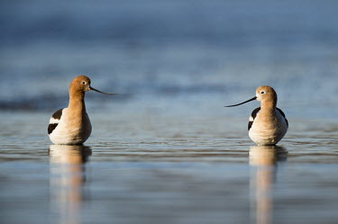 A pair of American avocets stand in the shallow water as the early morning sun lights them up on a clear spring morning American avocet,Animalia,Chordata,Aves,Charadriiformes,Recurvirostridae,Recurvirostra americana,avocet,blue,brown,early,morning,pair,reflection,rust,sunlight,tan,two,water,water level,white,bird,birds