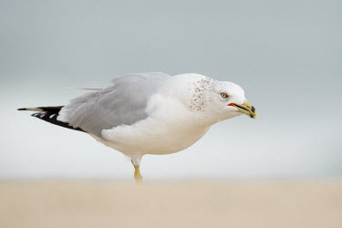 A ring-billed gull stands on a sandy beach looking angry in soft overcast light Ring-billed gull,gull,bird,birds,seabird,Animalia,Chordata,Aves,Charadriiformes,Laridae,Larus delawarensis,angry,beach,eye,grey,overcast,red,sand,smooth background,soft light,white,BIRDS,Florida,Ring-