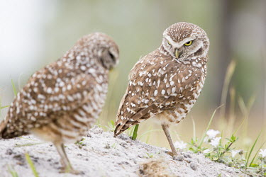 A pair of owls looks at the other with an angry stare owl,owls,predator,raptor,bird,birds,bird of prey,angry,brown,burrow,comical,dirt,funny,grass,pair,sand,two,white,Burrowing owl,Athene cunicularia,True Owls,Strigidae,Aves,Birds,Owls,Strigiformes,Chord