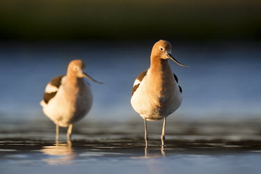 One of a pair of American avocets stands in the foreground in the shallow water as the dawn morning sunlight shines on them American avocet,Animalia,Chordata,Aves,Charadriiformes,Recurvirostridae,Recurvirostra americana,avocet,blue,brown,early,morning,orange,pair,reflection,rust,sunlight,two,water,water level,white,bird,bi
