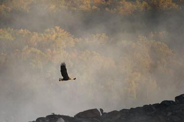 An adult bald eagle flies over a rocky outcrop on a sunny morning with a foggy and autumn coloured background Bald eagle,eagle,eagles,raptor,bird of prey,autumn,brown,early,fall,fall colours,flying,fog,foggy,grey,orange,rocks,scenic,sun,wings,Haliaeetus leucocephalus,Accipitridae,Hawks, Eagles, Kites, Harrier