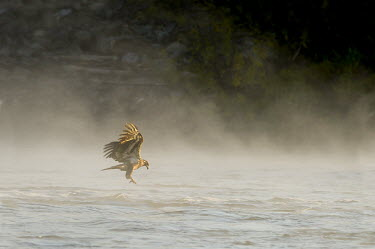 A juvenile bald eagle grabs for a fish in the early morning sun with fog hanging low on the water Bald eagle,eagle,eagles,raptor,bird of prey,brown,early,fishing,flying,fog,foggy,immature,juvenile,morning,sun,water,wings,Haliaeetus leucocephalus,Accipitridae,Hawks, Eagles, Kites, Harriers,Falconif