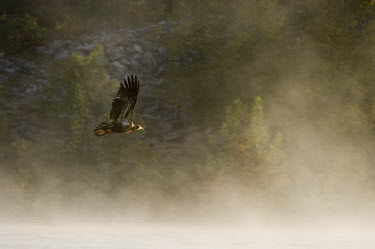A juvenile bald eagle flies into the morning sun through the fog Bald eagle,eagle,eagles,raptor,bird of prey,brown,early,flying,fog,green,immature,juvenile,morning,scenic,sunlight,sunny,trees,wings,Haliaeetus leucocephalus,Accipitridae,Hawks, Eagles, Kites, Harrier