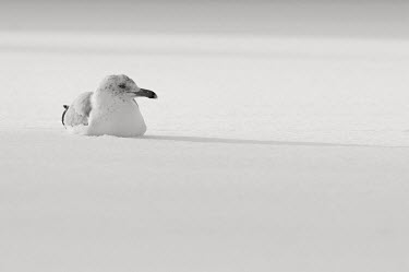 A black and white photo of a herring gull sitting in snow on a cold sunny winter day Herring Gull,alone,black and white,bright,cold,grey,high key,shadow,sitting,snow,solitude,sunlight,sunny,white,winter,BIRDS,animal,black,gray,nature,wildlife,yellow