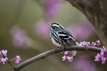 A black and White Warbler perched on a Redbud Tree branch singing loudly in the forest Black-and-white warbler,warbler,bird,birds,brown,funny,looking,overhead,perched,tree,under,white,Animalia,Chordata,Aves,Passeriformes,Parulidae,Mniotilta varia,BIRDS,Black and White Warbler,Branch,WAR