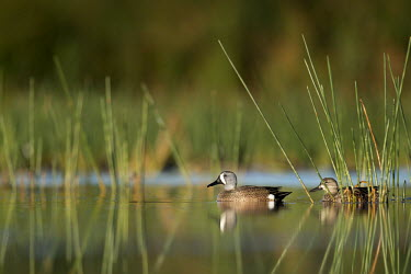 A pair of blue-winged Teal ducks float on the calm water in the morning surrounded by green aquatic grasses blue-Winged Teal,Waterfowl,aquatic,brown,calm,drake,duck,female,floating,grass,grey,green,hen,hiding,male,morning,pair,reflection,relaxing,sunny,swimming,water,water level,white,Anas discors,Blue-wing