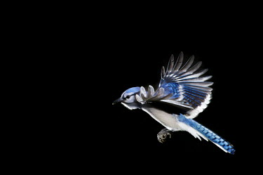 A brightly coloured blue jay flying with its wings stretched out against a solid black background blue,Blue jay,jay,bird,birds,action,bird feeder,feeder,feet,flash,flying,landing,off camera flash,white,wings,Cyanocitta cristata,Crows, Ravens, Jays,Corvidae,Perching Birds,Passeriformes,Chordates,Ch