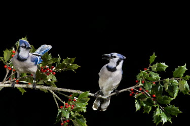 A pair of blue jays perch on a branch of holly with red berries against a solid black background blue,Blue jay,jay,bird,birds,berries,dramatic,feeder,flash,green,holly,leaves,lighting,pair,perched,red,white,Cyanocitta cristata,Crows, Ravens, Jays,Corvidae,Perching Birds,Passeriformes,Chordates,Ch