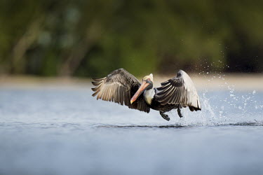 A brown pelican takes off from the water creating a big splash behind it as its wings sweep forward blue,Brown Pelican,pelican,birds,action,brown,feet,flying,funny,goofy,green,motion,movement,running,soft light,splash,take off,water,water level,white,wings,Brown pelican,Pelecanus occidentalis,Ciconi