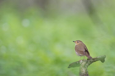 A swain son's thrush perched on a small tree branch Swainsons Thrush,thrush,bird,birds,bark,brown,green,overcast,perch,perched,small,soft light,spring,white,Swainson's thrush,Catharus ustulatus,Aves,Birds,Chordates,Chordata,Perching Birds,Passeriformes