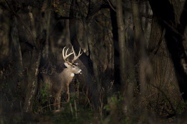 A large whitetail deer buck stands in a spotlight of sun in the woods early one morning antlers,brown,buck,deer,forest,fur,green,large,morning,rack,spotlight,sunny,trees,white,whitetail deer,woods,White-tailed deer,Odocoileus virginianus,Mammalia,Mammals,Even-toed Ungulates,Artiodactyla,