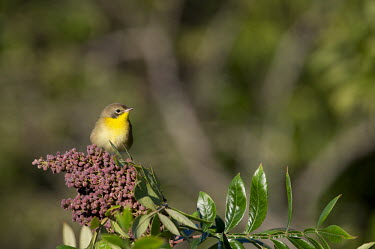 A young common Yellowthroat perches atop a purple seed filled branch on a sunny day Common throat,warbler,berries,bright,brown,green,juvenile,leaves,male,perched,purple,seeds,sunny,Animalia,Chordata,Aves,Passeriformes,Parulidae,Geothlypis trichas,Common yellowthroat,Animal,BIRDS,Bran