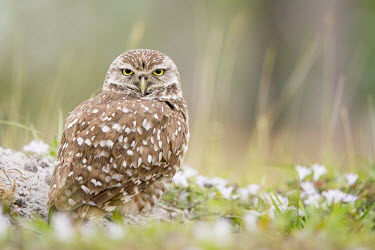 A Florida burrowing owl stands in its burrow surrounded by small white wild flowers and grass owl,owls,predator,raptor,bird,birds,bird of prey,amusing,angry,brown,comical,emotion,flowers,funny,grass,green,ground,overcast,sand,soft light,tired,white,Burrowing owl,Athene cunicularia,True Owls,St