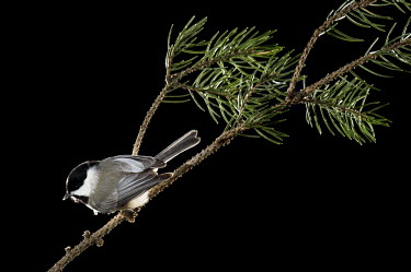 A Carolina chickadee is perched on a pine branch against a black background Carolina Chickadee,chickadee,bird,birds,Animalia,Chordata,Aves,Passeriformes,Paridae,Poecile carolinensis,backlight,bird feeder,dramatic,feeder,flash,grey,perched,pine,pine needles,white,Animal,BIRDS,