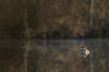A tiny pied-billed grebe floats on a glassy calm pond with a clear reflection in the early morning sun grebe,Pied-billed Grebe,brown,calm,early,morning,pond,reflection,sunny,water,water level,Animalia,Chordata,Aves,Podicipediformes,Podicipedidae,Podilymbus podiceps,bird,birds,Pied-billed grebe,BIRDS,GR