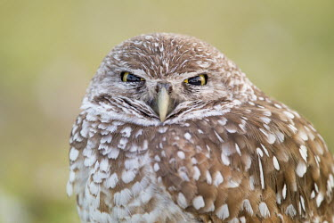 A Florida burrowing owl stares right at the camera with its eyes partially closed owl,owls,predator,raptor,bird,birds,bird of prey,Portrait,brown,close,close-up,eyes,green,staring,white,Burrowing owl,Athene cunicularia,True Owls,Strigidae,Aves,Birds,Owls,Strigiformes,Chordates,Chor