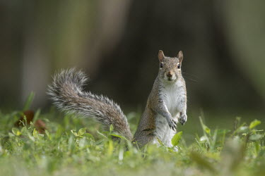 A grey squirrel stands on the ground with its tail up in the grass with an alert look alert,brown,curious,ears,feet,fur,grass,grey,gray squirrel,green,paws,standing,sunny,tail,white,Grey squirrel,Sciurus carolinensis,Rodents,Rodentia,Squirrels, Chipmunks, Marmots, Prairie Dogs,Sciurida