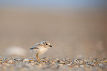 A piping plover chick stands on a pebble covered beach in the early morning sunlight plover,bird,birds,shorebird,Piping Plover,adorable,baby,beach,brown,chick,cute,early,fuzzy,grey,morning,orange,sand,small,sunny,tiny,white,young,Piping plover,Charadrius melodus,Aves,Birds,Charadriifo