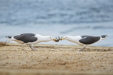 A pair of great black-backed gulls play tug of war with a crab trying to get the meal Great Black-backed Gull,action,behaviour,big,crab,eating,fighting,food,funny,grey,large,legs,overcast,pair,pulling,sand,soft light,tug,white,Larus marinus,Great black-backed gull,Aves,Birds,Chordates,