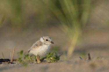 Piping plover chick stands on a sandy beach in the early morning sunlight plover,bird,birds,shorebird,Piping Plover,adorable,baby,beach,brown,chick,cute,early,fuzzy,grass,grey,green,morning,orange,sand,small,sunny,tan,tiny,white,young,Piping plover,Charadrius melodus,Aves,B