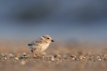 A piping plover chick stands on a pebble covered beach in the early morning sunlight plover,bird,birds,shorebird,Piping Plover,adorable,baby,beach,brown,chick,cute,early,fuzzy,grey,morning,ocean,orange,sand,small,sunny,tan,tiny,water,white,young,Piping plover,Charadrius melodus,Aves,B