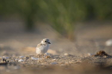 A piping plover chick stands on a sandy beach in the early morning sunlight plover,bird,birds,shorebird,Piping Plover,adorable,baby,beach,brown,chick,cute,early,fuzzy,grass,grey,green,morning,orange,sand,small,sunny,tan,tiny,white,young,Piping plover,Charadrius melodus,Aves,B