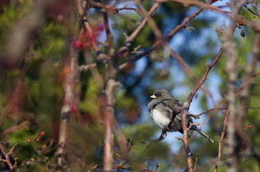 A dark-eyed Junco perches in a tangle of branches on a bright sunny day blue,junco,birds,bird,branches,bright,grey,green,red,shadow,sunny,white,Dark-eyed junco,Junco hyemalis,Chordates,Chordata,Perching Birds,Passeriformes,Aves,Birds,Emberizidae,Emberizids,pink-sided junc