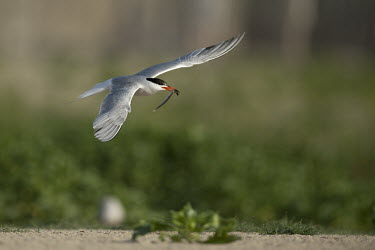 An adult common tern flies over a sandy beach with a long fish in its bright red bill tern,seabird,bird,birds,fish,flying,green,red,white,wings,Common tern,Sterna hirundo,Ciconiiformes,Herons Ibises Storks and Vultures,Chordates,Chordata,Aves,Birds,Charadriiformes,Shorebirds and Terns,