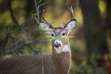 A young whitetail deer buck stands behind a small green leaf in the forest amusing,antlers,brown,buck,deer,funny,fur,green,leaf,male,morning,soft light,white,whitetail deer,White-tailed deer,Odocoileus virginianus,Mammalia,Mammals,Even-toed Ungulates,Artiodactyla,Cervidae,De
