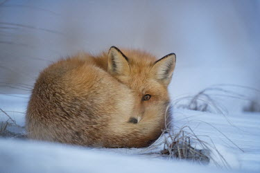 A red fox curled up at dusk to sleep for the evening in a cold winter snow cold,dusk,fox,fur,late,laying,orange,red fox,snow,white,winter,Red fox,Vulpes vulpes,Chordates,Chordata,Mammalia,Mammals,Carnivores,Carnivora,Dog, Coyote, Wolf, Fox,Canidae,Renard Roux,Zorro Rojo,ZORR