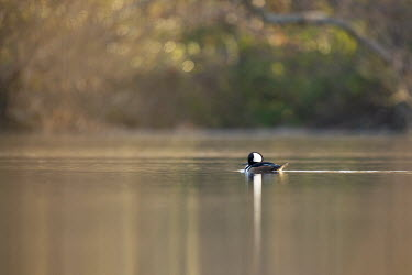 A drake hooded merganser appears very small in the scenery of a calm pond early one morning Hooded Merganser,Waterfowl,brown,duck,early,morning,pond,reflection,scenic,sunlight,water,water level,white,Animal,BIRDS,black,low angle,nature,wildlife