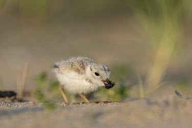 Piping plover chick eats a large fly on a sandy beach in the early morning sunlight plover,bird,birds,shorebird,Piping Plover,adorable,baby,beach,brown,chick,cute,early,fuzzy,grass,grey,green,morning,orange,sand,small,sunny,tan,tiny,white,young,Piping plover,Charadrius melodus,Aves,B