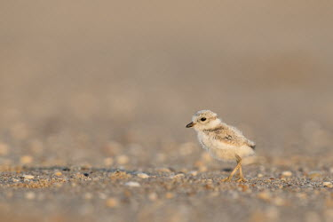 A piping plover chick stands on a pebble covered beach in the early morning sunlight plover,bird,birds,shorebird,Piping Plover,adorable,baby,beach,brown,chick,cute,early,fuzzy,grey,morning,orange,sand,small,sunny,tan,tiny,white,young,Piping plover,Charadrius melodus,Aves,Birds,Charadr