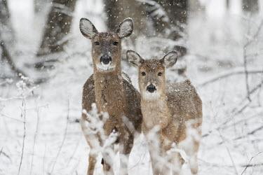 A pair of whitetail deer stand together in the falling snow brown,deer,forest,pair,snow,snowing,white,whitetail deer,White-tailed deer,Odocoileus virginianus,Mammalia,Mammals,Even-toed Ungulates,Artiodactyla,Cervidae,Deer,Chordates,Chordata,Toy deer,Key deer,C