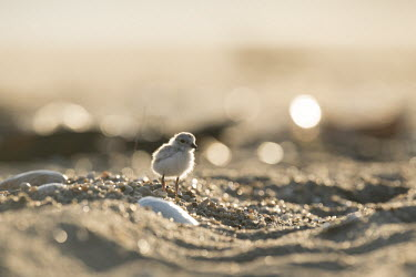 A piping plover chick stands on a sandy beach plover,bird,birds,shorebird,Piping Plover,adorable,baby,beach,brown,chick,cute,early,fuzzy,grey,morning,orange,sand,shell,small,sunny,tan,tiny,white,young,Piping plover,Charadrius melodus,Aves,Birds,C