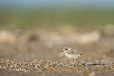 A piping plover chick stands on a pebble covered beach in the early morning sunlight plover,bird,birds,shorebird,Piping Plover,adorable,baby,beach,brown,chick,cute,fuzzy,grey,orange,sand,small,sunny,tan,tiny,white,young,Piping plover,Charadrius melodus,Aves,Birds,Charadriiformes,Shore