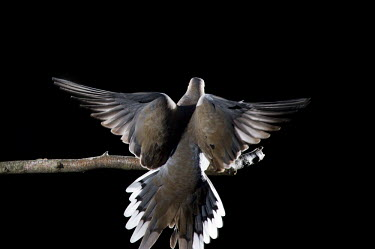 A mourning dove lands on a perch with its wings spread against a solid black background Mourning Dove,bird feeder,dramatic,feeder,flash,flying,grey,white,wings,dove,bird,birds,Zenaida macroura,Mourning dove,Pigeons, Doves,Columbidae,Pigeons and Doves,Columbiformes,Aves,Birds,Chordates,Ch