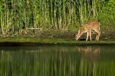 A young whitetail deer fawn gets a drink at the edge of a pond on a summer morning baby,drinking,early,fawn,green,morning,reflection,spots,water level,whitetail deer,young,White-tailed deer,Odocoileus virginianus,Mammalia,Mammals,Even-toed Ungulates,Artiodactyla,Cervidae,Deer,Chorda